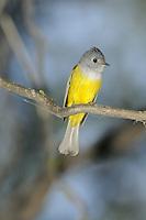 Grey-headed Canary-flycatcher - Culicicapa ceylonensis