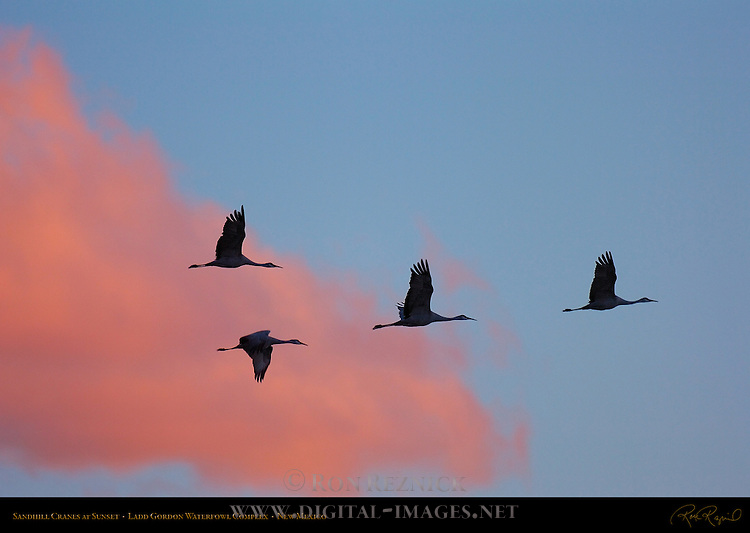 Sandhill Cranes at Sunset, Ladd Gordon Waterfowl Complex, New Mexico