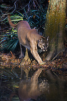 Florida Panther (Puma concolor coryi) in Southern Florida cypress swamp.  Endangered species.