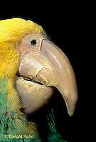 PA01-045z  Yellow-headed Amazon Parrot - close-up of beak - Amazona ochrocephala