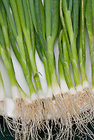 Spring Onions Scallions 'Photon' vegetables, harvested and clean, on white plate, showing stalks, ends, roots