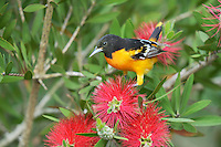 Baltimore Oriole (Icterus galbula), adult male feeding on blooming Lemon bottlebrush, crimson bottlebrush (Melaleuca citrina), South Padre Island, Texas, USA