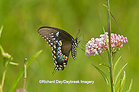 03029-01318 Spicebush Swallowtail butterfly (Papilio troilus) on Swamp Milkweed (Asclepias incarnata) Marion Co., IL
