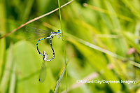 06067-00118 Seepage Dancer (Argia bipunctulata) male and female copulation wheel Scott Fen Shannon Co. MO