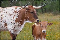 "This image of Texas Longhorns in a field of wildflowers in Texas is a closer version of ""Longhorns in Texas Wildflowers 3"" - same Longhorns, same wildflower field."