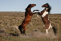 A stud on the left challenged a paint stallion on the right as they moved toward the water hole in South Steens Mountain. Wild horses roaming the high desert drink in a hierarchial order determined by dominance.