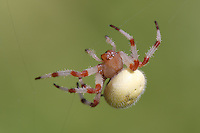 Shamrock Orbweaver (Araneus trifolium),  Ward Pound Ridge Reservation, Cross River, Westchester County, New York