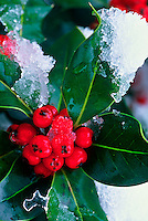 English Holly (Ilex aquifolium)<br /> Vashon, WA