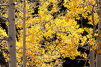 Backlit aspen near Aspen, Colorado