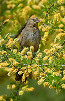 582190003 a wild canyon towhee pipilo fuscus perches in a flowering tree at catalina state park in tucson arizona united states