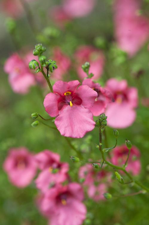 Diascia barberae 'Ruby Field' (syn. Diascia cordifolia 'Ruby Fields'), early August.