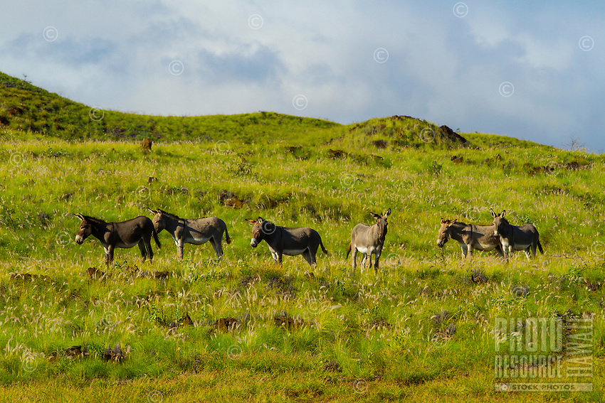 Donkeys graze and look on from a green hill in Waikoloa Village, Big Island.
