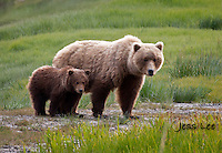 A photo of a Alaska coastal brown bear sow and cub. Grizzly Bear or brown bear alaska Alaska Brown bears also known as Costal Grizzlies or grizzly bears
