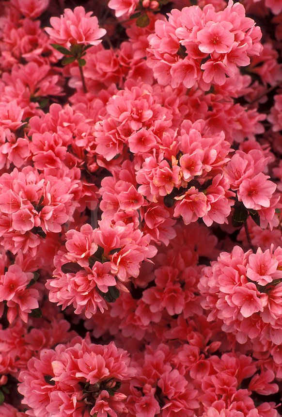 AJ3371, azalea, flower, blossom, Cluster of pink blossoms on an azalea bush.