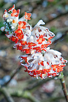 Edgeworthia chrysantha Red Dragon in bloom, red-orange flowered variety of the species, which is usually yellow