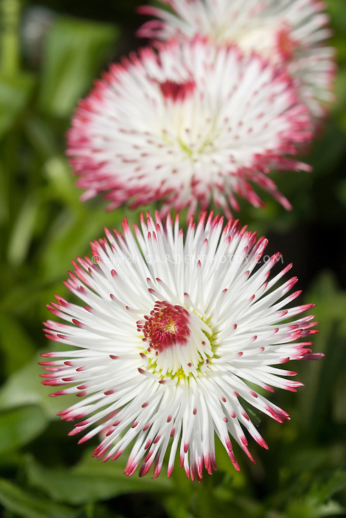 Bellis goliath white with red tips english daisies plant flower bellis perennis goliath one of mix white with red tips perennial flowers mightylinksfo