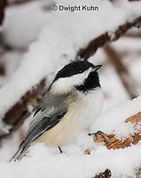 1J04-592z  Black-capped Chickadee, in winter snow,  Poecile atricapillus or Parus atricapillus
