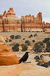 Canyonlands National Park, Utah, Raven, Corvus corax, Chesler Park, the Needles District, Southwest, United States, USA,