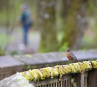 An American robin perches on one of the boardwalks in the Nisqually National Wildlife Refuge.