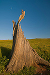 Broken jagged tree stump, Sunol Regional Wilderness, Alameda County, California
