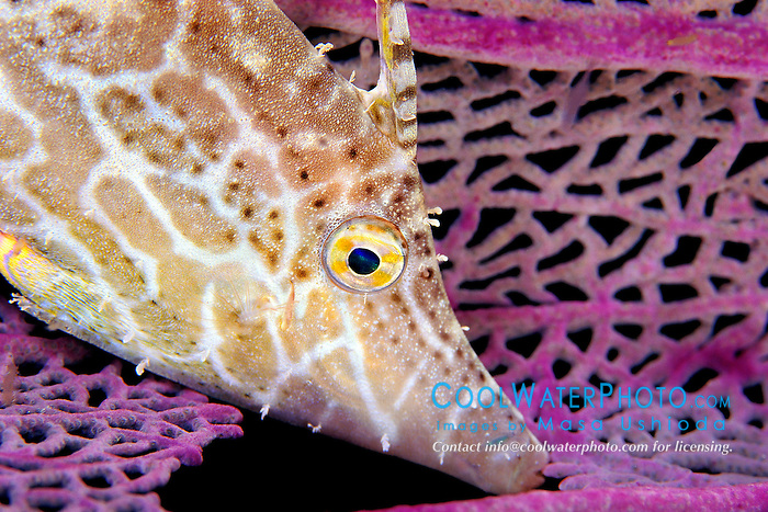slender filefish, Monacanthus tuckeri, at night, sleeping safely against current by holding onto a corner of sea fan, Gorgonia sp., in its mouth, Towanda (City of Washington) wreck, Key Largo, Florida Keys National Marine Sanctuary, Atlantic Ocean