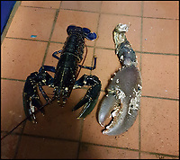 BNPS.co.uk (01202 558833)Pic: ShaunKrijnen/BNPS<br /> <br /> The giant lobster claw<br /> <br /> Claws for thought...<br /> <br /> Divers and fishermen will need to be careful not to have a run-in with the monster that left this giant claw behind.<br /> <br /> The massive lobster, which must be at least 50 years old and about 3ft in length, is believed to be lurking in the Menai Strait in Anglesea, Wales.<br /> <br /> Marine biologist and oyster farmer Shaun Krijnen found the huge crushing claw the crustacean had shed when he pulled in one of his oyster bags last week.<br /> <br /> The claw is bigger than a human hand at a whopping 8 inches and it would be powerful enough to squash a tin can or break a human wrist.