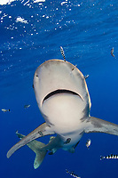 Oceanic white tip, Carcharhinus longimanus, with pilotfish, Mozambique Channel, Indian Ocean, Eastern Africa