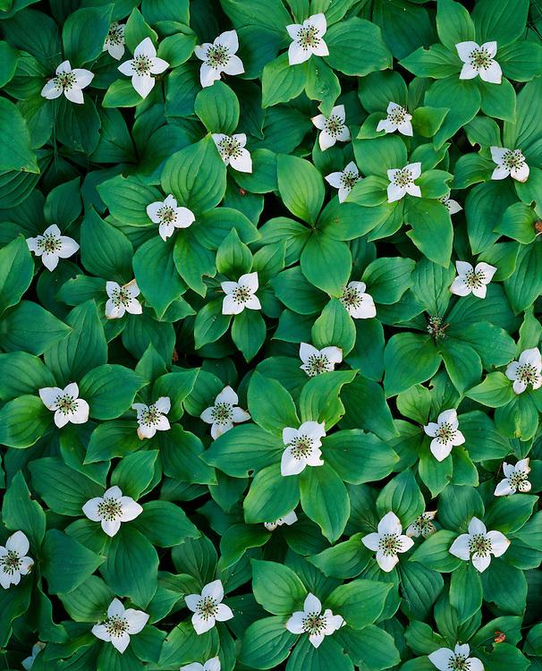 Bunchberry dogwood, spring, Acadia National Park, Maine, 1995
