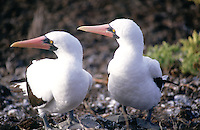 A pair of masked boobies are attracted by something. As with all birds and animals on the Galapagos, the proximity of a human does not alarm them.