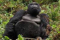 Male Mountain Gorilla (beringei beringei),Rwanda, Volcanoes National Park, Rwanda.