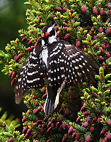 Male hairy woodpecker in pine tree