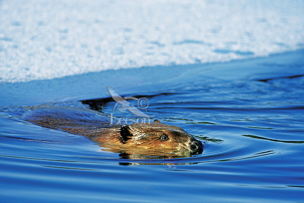 Beaver (Castor canadensis) swimming in partially ice covered beaver pond--has just surfaced out from under the ice. Winter.