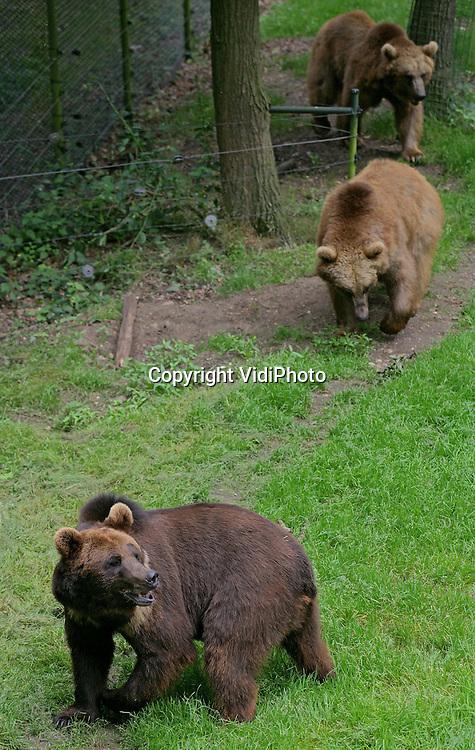 Foto: VidiPhoto..RHENEN - De drie Georgische beren die door de berenstichting Alertis van de dood zijn gered en eind april naar Nederland werden getransporteerd, hebben donderdag voor het eerst van hun leven van een stukje vrijheid mogen proeven. De drie, Duuk, Diesel en Igor, werden losgelaten in het Berenbos van Ouwehands Dierenpark in Rhenen. De dieren hadden nog nooit eerder gras en zand gevoeld. Omdat de beren wegens sluiting van de dierentuin in het Georgische Rustavi zouden worden afgemaakt, besloot Alertis ze naar het Berenbos te halen.