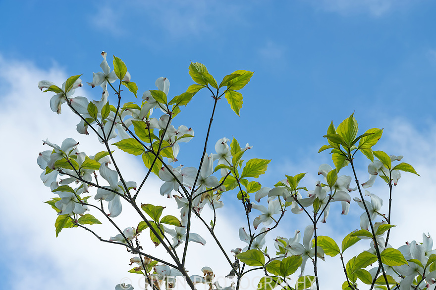Dogwood tree and blue sky