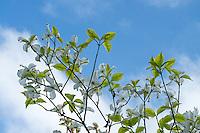 Dogwood tree and blue sky