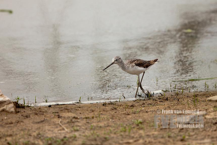 Marsh Sandpiper ( (Tringa Stagnatilis)...Hluhluwe Imfolozi Game Reserve..Kwazulu-Natal, South Africa..November 2010.