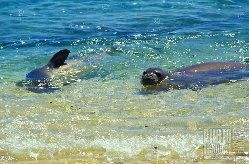 The endangered Hawaiian monk seals, latin name: monachus schauinslandi, off the coast of Niihau