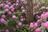 Rhododendrons, in bloom, Pine Barrens, New Jersey