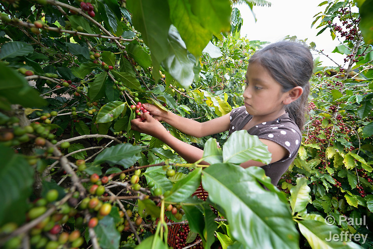 Silvia Cojon, a 11-year old Kakchiquel Maya girl, picks ripe coffee beans in San Martin Jilotepeque, Guatemala. Coffee rust, a terrible plant fungus, has affected coffee farms throughout the region. This farm used heavy spraying of chemicals to control the fungus.
