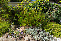 A Howard McMinn manzanita forms the centerpiece of this beautiful display of natives in an Irvine garden.  Also seen are an Artemesia pycnocephala 'David's Choice', Baccharis pilularis consanguinea Pozo Surf, and Erigeron glaucus, the seaside dasiy.
