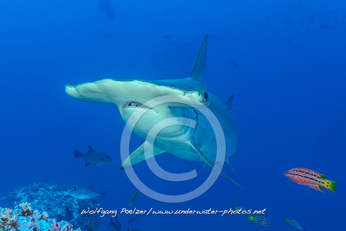 Sphyrna lewini, Bogenstirn Hammerhai an Putzerstation und juveniler Mexikanischer Schweinslippfischmit als Putzerfisch, Scalloped hammerhead shark on Cleaning station with juvenile Mexican hogfish as Cleaning fih, Insel Cocos, Costa Rica, Pazifik, Pazifischer Ozean, Cocos Island, Costa Rica, Pacific Ocean