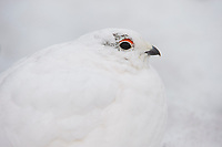 Adult White-tailed Ptarmigan in its camouflaged winter plumage. Mount Rainier, Washington.