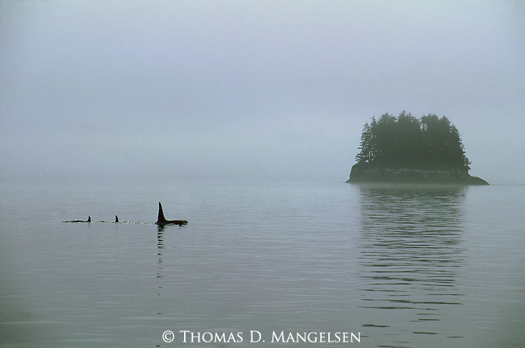 Fog skims the top of the water as a family of orcas swim near an island in Johnstone Strait, British Columbia, Canada.