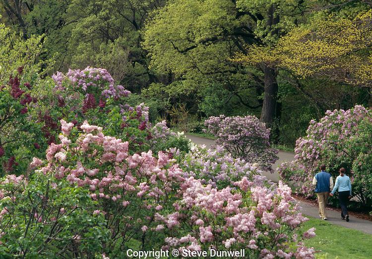 Lilacs, Arnold Arboretum, Jamaica Plain, Boston, MA
