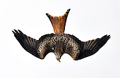 Red Kite, New Galloway