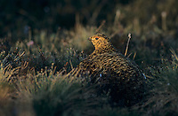 Willow Ptarmigan, Lagopus lagopus,female, Gednjehogda, Norway, June 2001