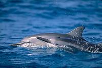 Hawaiian spinner dolphins Stenella longirostris Northwestern Hawaiian Islands, Papahanaumokuakea Marine National Monument, Hawaii, Midway Atoll, Pacific Ocean