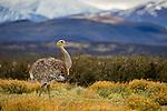 Lesser Rhea (Rhea pennata) in pre-andean shrubland, Torres del Paine National Park, Patagonia, Chile