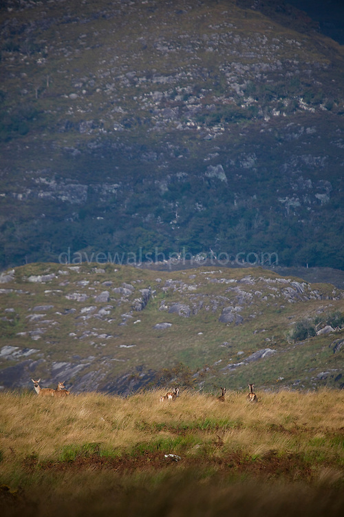 Red Deer hinds, Cervus elaphus, near Torc Mountain in Killarney National Park, Kerry, Ireland, during the annual rutting season. Native to Ireland since the last ice age, the red deer population dwindled to around 60 at the turn of the 20th century, but thanks to protection and management now number in the hundreds. During the rutting season, the stags gather around 5 hinds into a harem, and give out a loud, deep roar to challenge or ward off other males. Inexplicably, the red deer hinds are still hunted in Ireland, although it's illegal to hunt the stags in Kerry. Copyright 2011 Dave Walsh. All Rights Reserved.