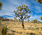 Joshua Trees (Yucca brevifolia) in Joshua Tree National Park, created 1994 with passage of California Desert Protection Act (previously National Monument Est. 1936). 790,636 acres (319,959 ha) or 1,235 sq. mi. Joshua trees are fast growers for the desert; new seedlings may grow at an average rate of 3.0 in (7.6 cm) per year in first ten years, then only about 1.5 in (3.8 cm) per year. Trunk made up of thousands of small fibers and lacks annual growth rings, making it difficult to determine a tree's age. Name Joshua tree from Mormon settlers in the mid-19th century; shape reminded them of a Biblical story in which Joshua reaches his hands up to the sky in prayer. Mojave Desert, Riverside County, CA.